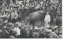 The Bullock presented for the Coronation Dinner 1911 by Messrs. Sewell and Page.
