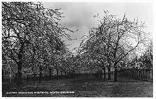 Westwick Cherry Orchards, 1943