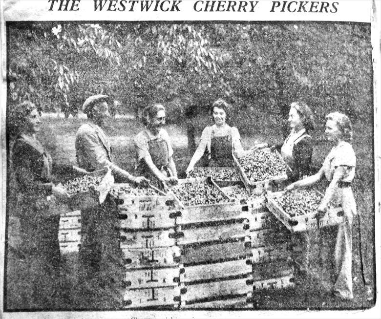 Photograph. Cherry pickers at the orchards at Westwick, opposite Westwick Hall. (North Walsham Archive).