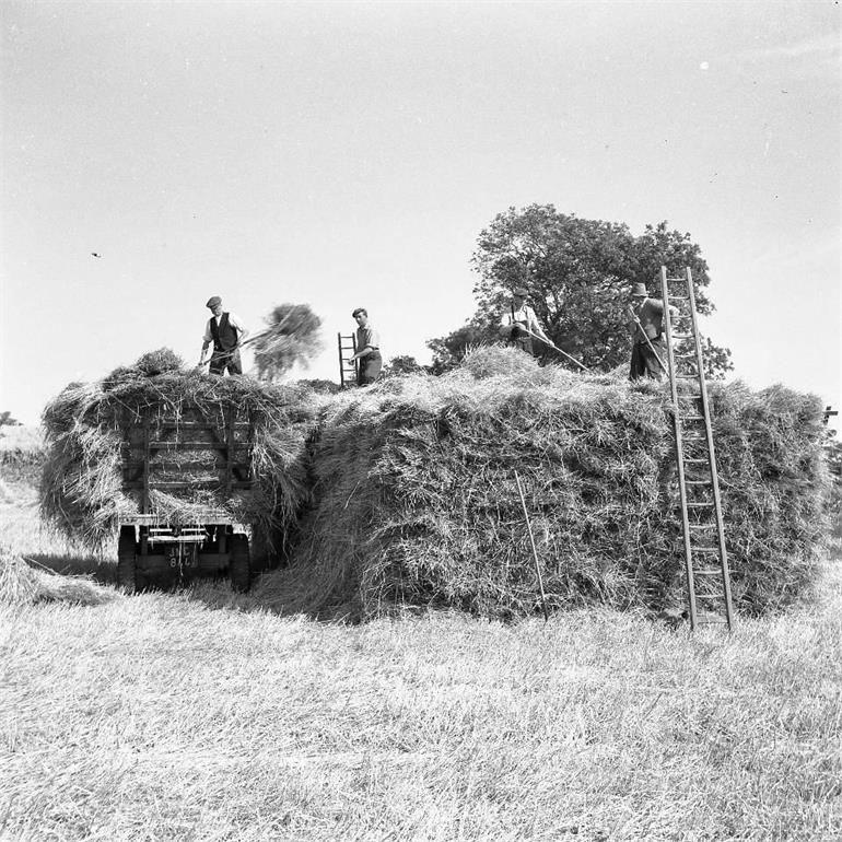 Photograph. Harvesting in Paston (North Walsham Archive).